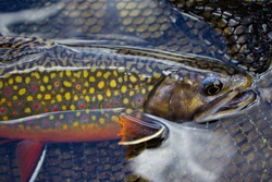 brook trout and fly fishing net