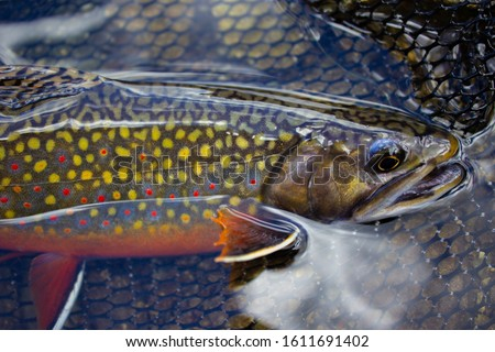 Photo of  brook trout and fly fishing net