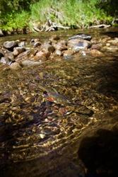 Brook Trout in Crystal Clear Water, Below  Rocks