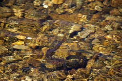 Brook Trout in Crystal Clear Waters Turns as it Swims
