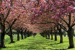 Brooklyn, New York: Visitors relax in the colonnade of cherry blossom trees in full bloom at the Brooklyn Botanic Garden.