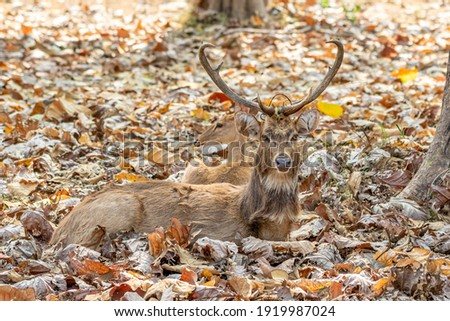 Brow antlered deer Lying in the forest. Foto stock ©