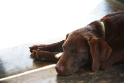 Brow Labrador puppy sleeping the day away in a door opening with the sun shining in. Perfect for a postcard, editorial or invitation with space to write in the picture. Man's best friend and companion