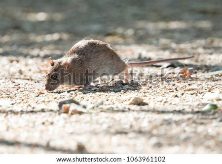 Brow Rat (Rattus norvegicus) running on the ground - Hungary