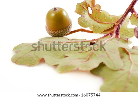 Brown acorn with autumn colored oak leaves isolated on white background