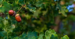 Brown acorns on an oak tree branch in a forest. Closeup oak fruits and leaves on a green background