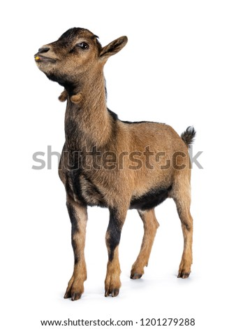 Brown agouti pygmy goat standing side way looking forwards with piece of corn in mouth, isolated on white background