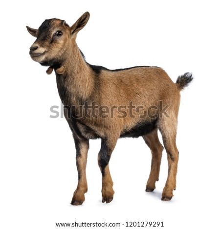 Brown agouti pygmy goat standing side way looking to camera, isolated on white background