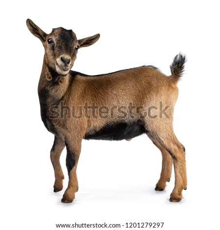 Brown agouti pygmy goat standing side ways with head turned and looking to camera, isolated on white background #1201279297