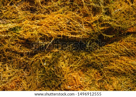 brown algae. brown mud with brown shells and pebbles