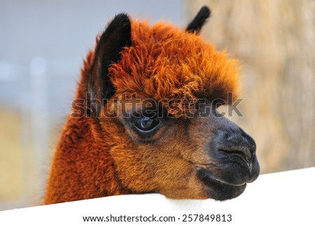 Brown alpaca on country ranch