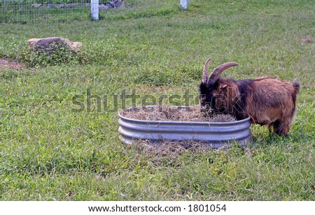 Brown and black billy goat munching on some hay in a farmyard.