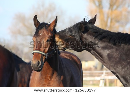 Brown and black horses nuzzling each other