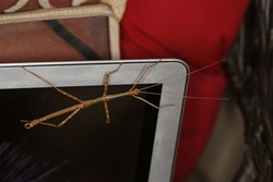 Brown and green stick bug on laptop screen. Phasmatodea, isolated closeup.