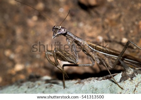 Brown and Grey Bark Mantis, South Africa #541313500