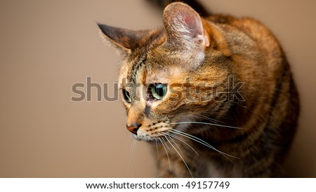 Brown and orange tabby cat against plain background. Feline on the prowl or hunting behavior.
