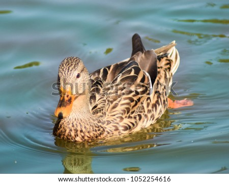Brown and tan duck with designs of stripes, spots and chevrons. #1052254616