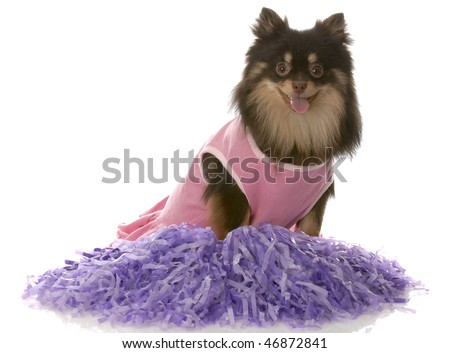 brown and tan pomeranian dressed up as a cheerleader with purple pompoms - stock photo