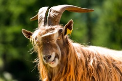 Brown and white billy goat with long fur and horns looking into the camera. Italian Alps