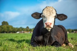 Brown and white bull calf lying in the pasture, cattle breed known as: blister head aka blaarkop, fleckvieh, and a dark blue sky as background.