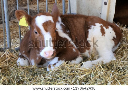 Brown and white calf lying in the hay in a stable