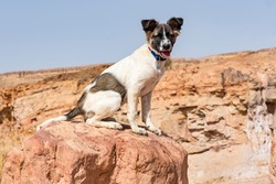 brown and white Canaan Dog puppy posed on a red boulder in the Makhtesh Ramon crater in Israel with a blurred cliff and blue sky in the background