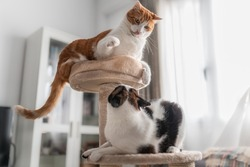 brown and white cat on the top of a scraper tower, plays with a black and white cat