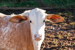 Brown and White cow or ox with big ears