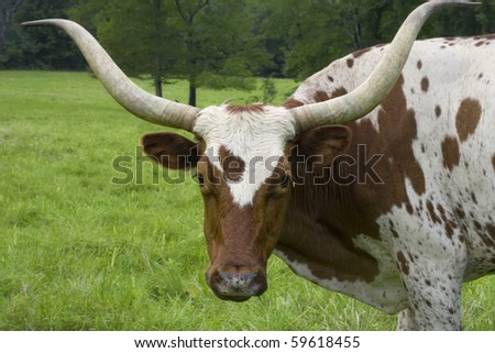 Brown and white cow with huge horns