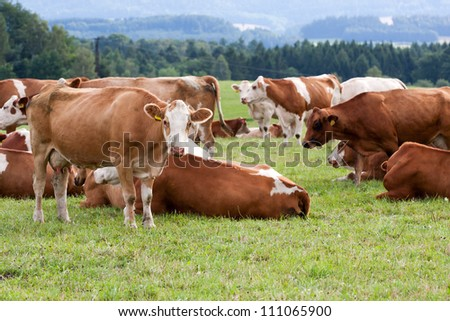 Brown and white dairy cows in pasture
