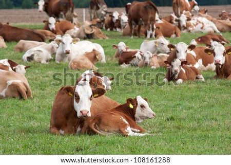 Brown and white dairy cows in pasture, Czech Republic