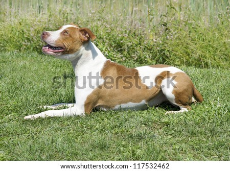 Brown and white dog lying in the grass