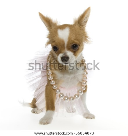 miniature long haired chihuahua puppies. long hair chihuahua puppy