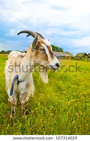 brown and white goat standing in the meadow of green grass looking at side - stock photo
