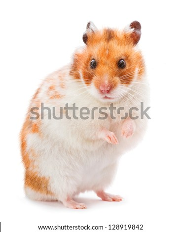 Brown and white hamster isolated on white