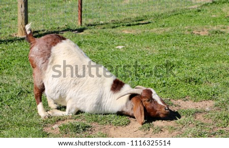 Brown and white horned goat with eyes closed kneeling on green grass