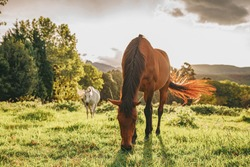 Brown and white horse in a green field at sunset grazing in the sun.