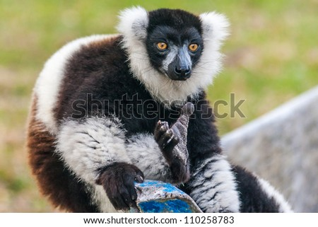 Brown and white lemur Vari (ruffed lemur)  in the east of Madagascar