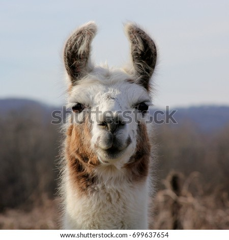 Brown and White Llama - Close up photograph of a brown and white llama's head, with some mountains in the background.  Selective focus on the llama's features.  #699637654