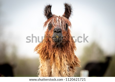 Brown and white llama standing in a field staring straight at the camera