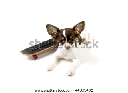 cute long haired chihuahua puppies. long Hair Chihuahua Puppy