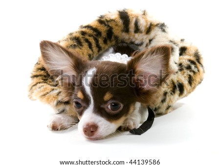 long haired chihuahua puppies for sale in missouri. long hair chihuahua puppy