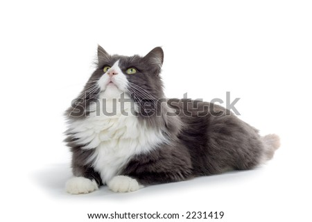 brown and white norwegian forest cat laying down and looking up - stock photo