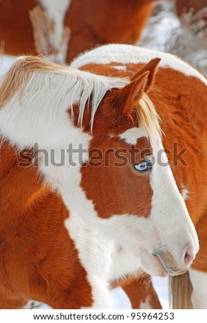 Brown and white paint horse with blue eye.