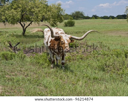 Brown and white Texas Longhorn steer in a pasture.