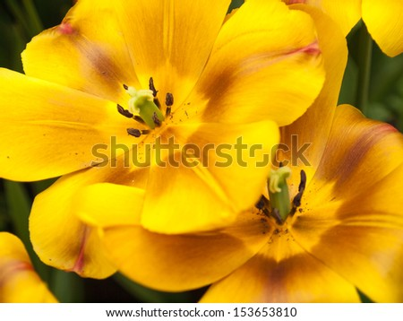 Brown and yellow show tulip in closeup #153653810