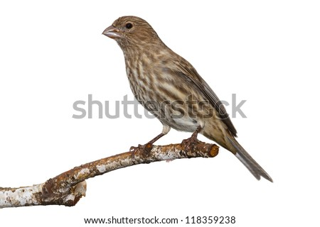 brown and yellow striped female house finch posed on a white birch branch, white background