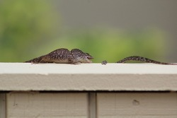 Brown Anole on a fence