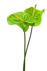 Brown anthurium (Flamingo Flower; Boy Flower)