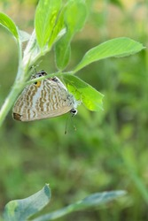 Brown Asian butterfly on green plant leaf, animal insect close up, beautiful macro wildlife background